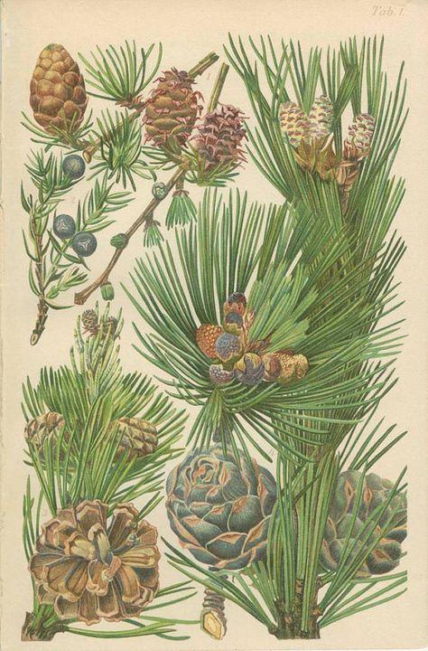 Nadelbaum Latschenkiefer Tanne Wacholder Tannenzapfen 1906 Antike Franzosische Botanische Buch Platt Botanical Art Botanical Wall Decor Vintage Botanical