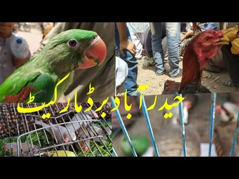 Java breeder pair.Male chakoor.Kashmiri Pahari patha.Red neck@Friday Birds MARKET HYDERABAD19.03.21