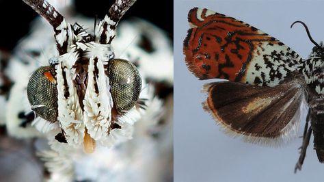 Sirindhornia Chaipattana-Dieses wie von Schnee bedeckte Insekt ist eine Nachtfalterspezies. Benannt nach der thailändischen Prinzessin Maha Chakri Sirindhorn, trägt diese Spezies wesentlich zum funktionierenden Ökosystem der Wälder bei. Sie verwandeln Pflanzenmaterial in tierische Proteine und dienen vielen Tieren als Nahrung.
