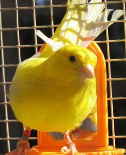 صور عصافير كناري روعة Canary Bird Pictures Bird Pictures Canary Birds Pictures