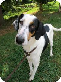 Atlanta Ga Great Dane Hound Unknown Type Mix Meet Ford A Dog