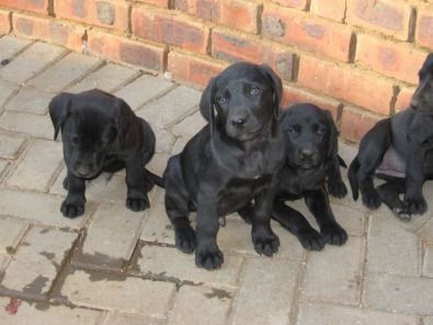 Dogs And Puppies In Pretoria With Images Sporting Dogs Pets