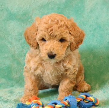 Poodle Toy Shih Poo Mix Puppy For Sale In Gap Pa Adn 71131 On Puppyfinder Com Gender Female Age 7 Weeks Old With Images Shih Poo Shih Poo Puppies Puppies For Sale