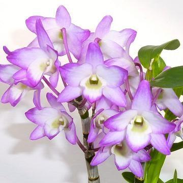 Dendrobium Sakura Hime Bs Miniature Orchids Dendrobium Orchids Flower Art