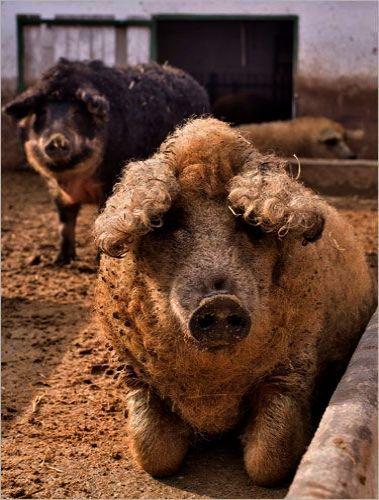 Remarkable Pigs For Sale Craigslist Dyr Nuttede Dyr Sjove Dyr