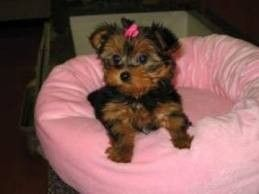 X Mas Teacup Yorkie Puppies For Free Adoption Lake Charles La