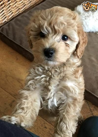Sold We Only Have One Little Apricot Boy Left We Have Had A Gorgeous Litter Of Cockapoo Puppies Mum Is Our Beautiful In 2020 Cockapoo Puppies Cavapoo Puppies Puppies