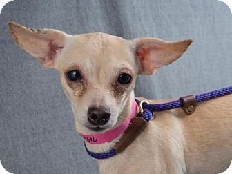 Pictures Of Portia A Chihuahua Mix For Adoption In Colorado