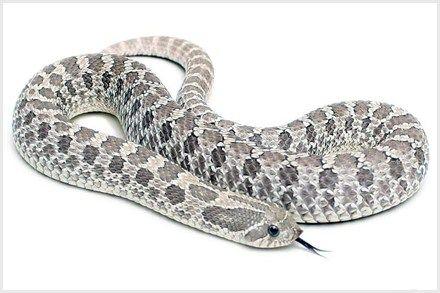 10 Western Hognose Snake Morphs Hognose Snake Western Hognose Snake Pet Snake