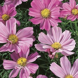 Rhs Cosmos Sensation Pinkie 2 40 From Mr Fothergills Seeds In 2020 Flower Seeds Seeds Large Flowers