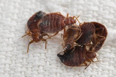 Take These Steps Before Being Serviced For Bed Bugs Bed Bugs Treatment Termite Control Bed Bugs