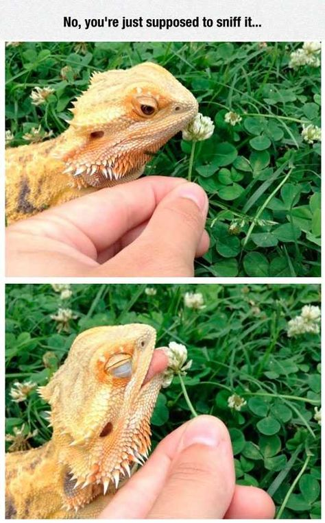 Bearded Dragon, not sure if they can eat those but, looks so curious. Its cute Bearded Dragon Habitat, Bearded Dragon Funny, Les Reptiles, Cute Reptiles, Animal Jokes, Funny Animal Memes, Funny Pets, Cute Little Animals, Cute Funny Animals