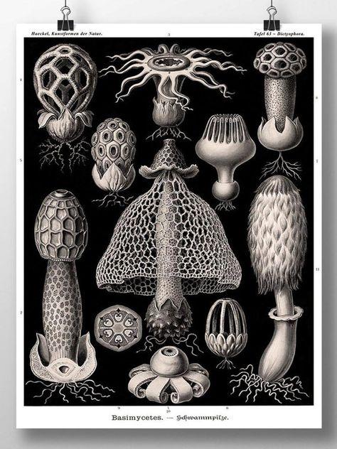 Impression de champignons, Art Champignon, Affiche, Ernst Haeckel Botanical Illustration, Fungi Basimycetes/Stinkhorn Mushrooms Wall Art, Botanical Art,