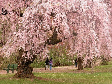 Cherry Blossom Wikipedia Japanese Garden Plants Trees To Plant Cherry Blossom Tree