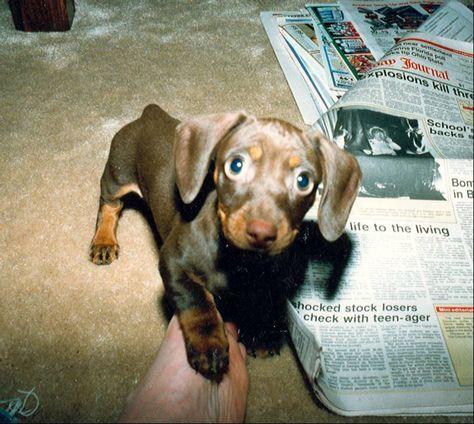 Ernie Doxie Puppies Weiner Dog Cute Animals