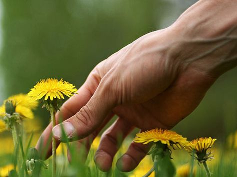 Eat Your Weeds: Tips for Picking and Cooking Dandelions