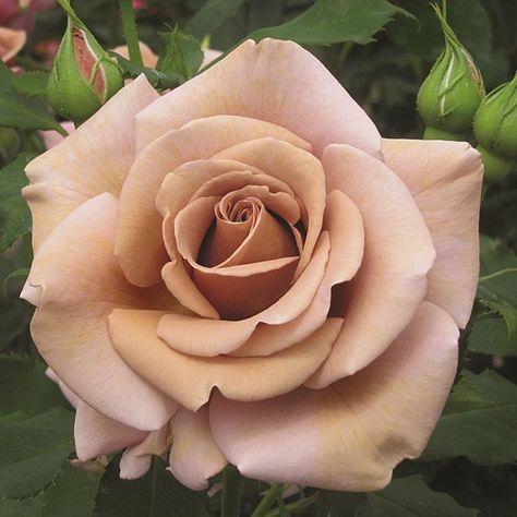SOUL SISTER - Floribunda Rose