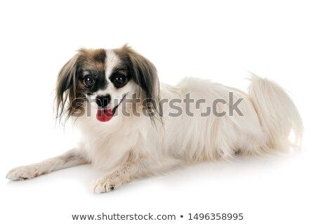 Stock Photo Close Up Of A Happy Zwerg Spitz Puppy Isolated On