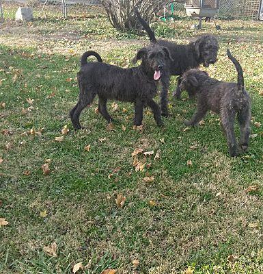 Denver In Great Dane Meet 2 Girls 1 Boy A Dog For Adoption Pet Adoption Adoption Great Dane