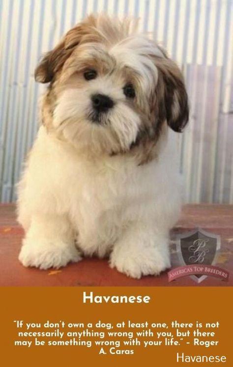 Havanese Puppy Cream Newpuppy More On Havanese Long Hair In 2020