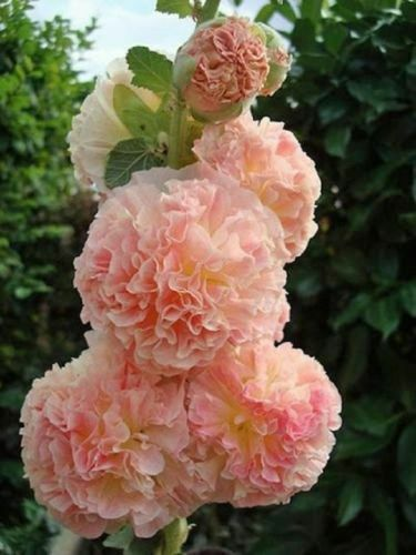 25 Double Salmon Hollyhock Seeds Perennial Giant Flower Garden Plant Seed 320