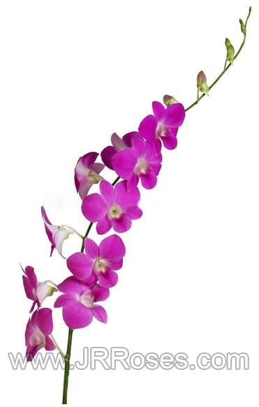 Pink Dendrobium Orchid Wholesale Flowers Wholesale Flowers Jr Roses In 2020 Wholesale Flowers Dendrobium Orchids Flower Care