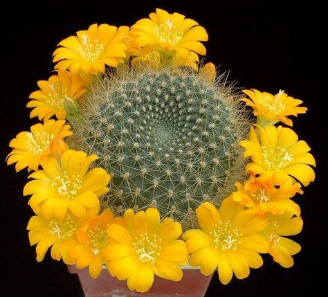 Rare Cactus Samen Korn 種子 씨앗 Семена Acanthocalycium Peitscherianum 20 SEEDS