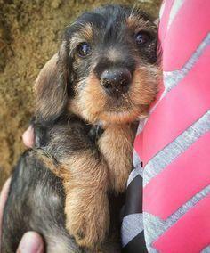 Wirehaired Dachshund Cute Puppy Dog Pet Wirehaireddachshund