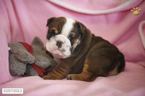 Bulldozer English Bulldog Puppy For Sale In Denver Pa English