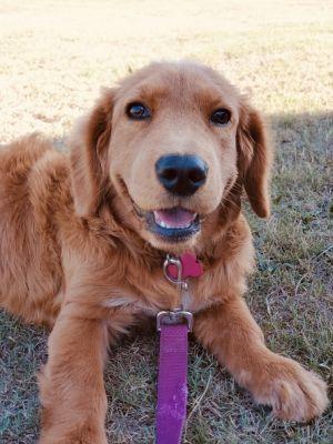 Adopt Buttons On Golden Retriever Corgi Mix Golden Retriever Baby Dog Adoption