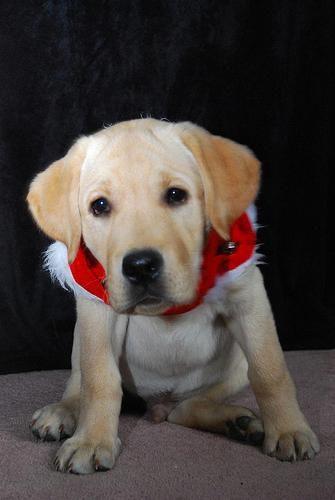 Labrador Puppies Vancouver Wa Awesome Labradornearme