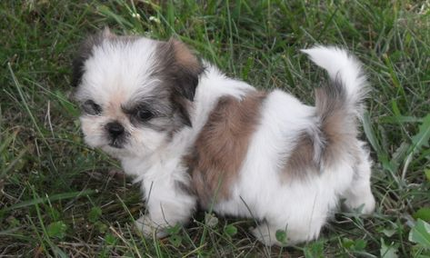 Cute Shih Tzu Puppies Pictures And Photos Shih Tzu Dogs Breeders