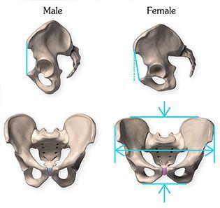 48++ Pelvic bone anatomy male and female ideas in 2021