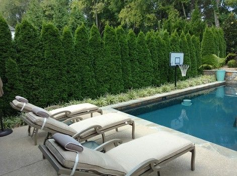 Emerald Green Arborvitae Providing Screening For Swimming Pool