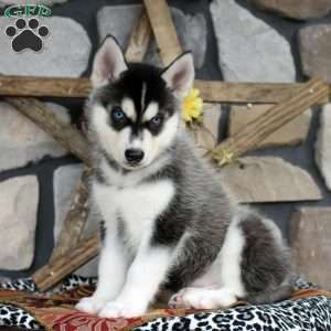 Siberian Husky Puppies For Sale Husky Puppy Husky Puppies For