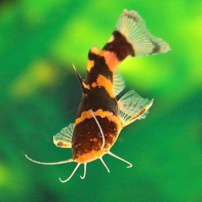 South American Bumblebee Catfish Informationen Uber Microglanis Iheringi Und American Bumbleb Susswasser Aquarienfische Gefullter Fisch Aquarienfische