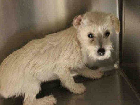 Cairn Terrier Dog For Adoption In Modesto Ca Adn 826025 On