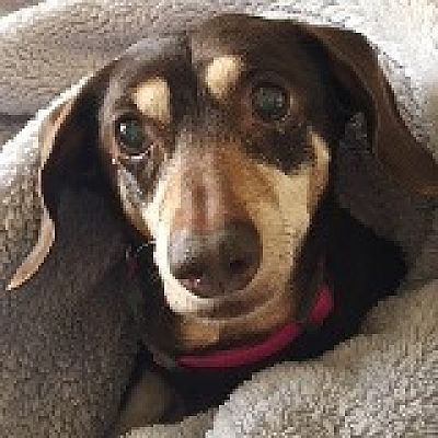 Houston Tx Dachshund Meet Maggie Macbeth A Pet For Adoption