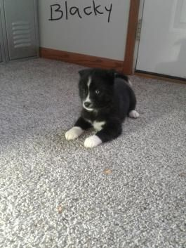 Blacky Pomsky Puppy For Sale In Shipshewana In In 2020 Puppies For Sale Pomsky Puppies Pomsky Puppies For Sale