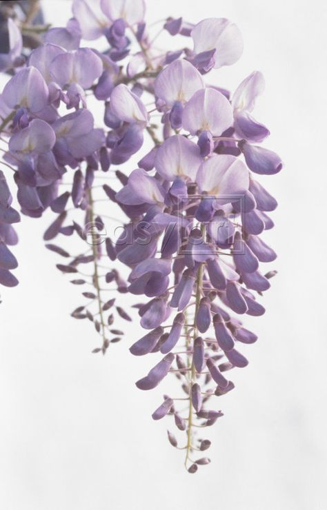 I was just thinking it would be wonderful if we could capture this fragrance for Ellie's room, and then I realized we can plant a wisteria outside her bedroom window! You grew up to the fragrance of Southern Indica azaleas .