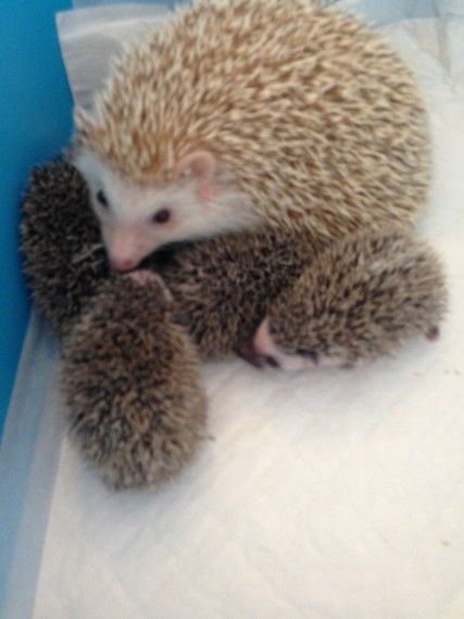 African Pygmy Hedgehog Babies For Sale Rainham Essex Pets4homes In 2020 Baby Hedgehog Pygmy Hedgehog Hedgehog Pet