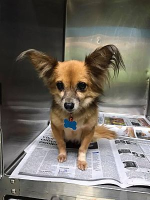 Sterling Heights Mi Chihuahua Meet Happy A Pet For Adoption