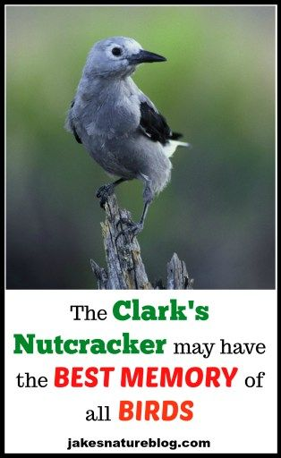 The Clark S Nutcracker May Have The Best Memory Of All Birds