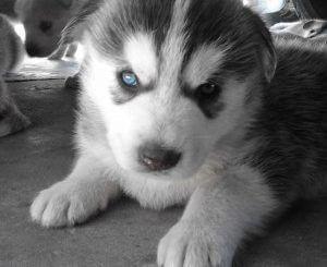 Miniature Husky Puppies For Sale In Texas Miniaturehusky