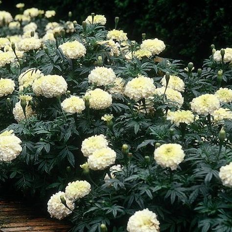 Guess what swallowtailgarden... has?  White marigold seeds! What? I didn't just order them? You bet your bunky I did...among other seeds, too!