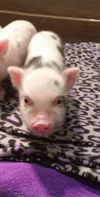 Mini micro pigs miniature pigs teacup pigs juliana pigs mini micro pigs miniature pigs teacup pigs juliana pigs mini pigs 2 pinterest teacup pig micro pig and mini pig voltagebd Gallery