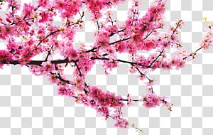 Cherry Blossom Tree Peach Peach Tree Branches Transparent Background Png Clipart Cherry Blossom Drawing Cherry Blossom Watercolor Blossoms Art