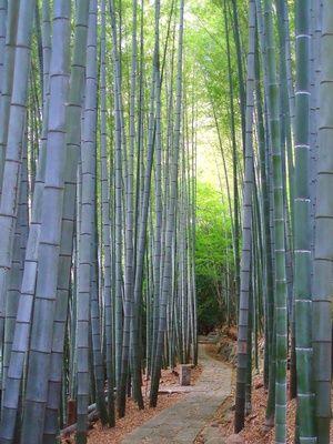 Moso Bambus 20 Samen