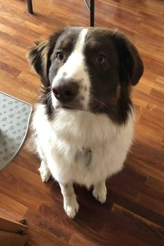 Australian Shepherd Dog For Adoption In National City Ca Usa