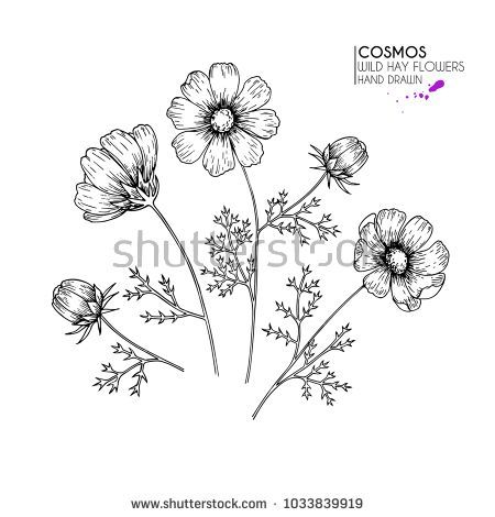 Hand Drawn Wild Hay Flowers Cosmos Or Cosmea Flower Vintage Engraved Art Botanical Illustration Goo In 2020 Flower Line Drawings Cosmos Tattoo Floral Tattoo Sleeve